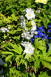 Guardian White Larkspur (Delphinium 'Guardian White') at Make It Green Garden Centre