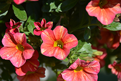 Superbells® Tropical Sunrise Calibrachoa (Calibrachoa 'INCALTRSUN') at Make It Green Garden Centre