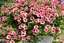 Superbells® Strawberry Punch™ Calibrachoa (Calibrachoa 'USCAL58205') at Make It Green Garden Centre