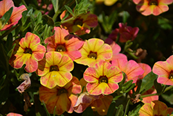 Chameleon™ Indian Summer Calibrachoa (Calibrachoa 'Wescachaminsu') at Make It Green Garden Centre