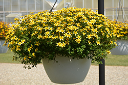 Beedance® Yellow Bidens (Bidens 'Beedance Yellow') at Make It Green Garden Centre
