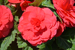 Nonstop® Deep Rose Begonia (Begonia 'Nonstop Deep Rose') at Make It Green Garden Centre