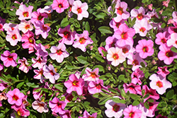 Kabloom™ Light Pink Blast Calibrachoa (Calibrachoa 'Kabloom Light Pink Blast') at Make It Green Garden Centre