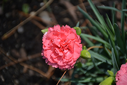 Fruit Punch® Classic Coral Pinks (Dianthus 'Classic Coral') at Make It Green Garden Centre