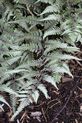 Godzilla Giant Japanese Painted Fern (Athyrium 'Godzilla') at Make It Green Garden Centre