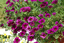 Cabaret® Purple Glow Calibrachoa (Calibrachoa 'Cabaret Purple Glow') at Make It Green Garden Centre
