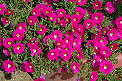 Noa Dark Pink Carnival Calibrachoa (Calibrachoa 'Noa Dark Pink Carnival') at Make It Green Garden Centre