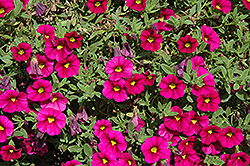 Noa Mega Magenta Calibrachoa (Calibrachoa 'Noa Mega Magenta') at Make It Green Garden Centre