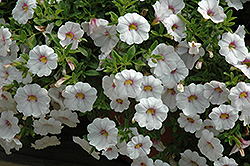 Aloha Royal White Calibrachoa (Calibrachoa 'Aloha Royal White') at Make It Green Garden Centre