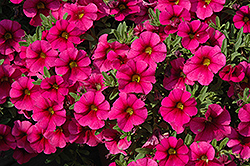 Aloha Kona Neon Calibrachoa (Calibrachoa 'Aloha Kona Neon') at Make It Green Garden Centre