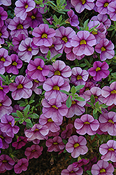 Aloha Purple Sky Calibrachoa (Calibrachoa 'Aloha Purple Sky') at Make It Green Garden Centre