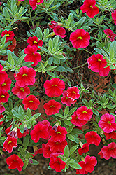 Aloha Red Calibrachoa (Calibrachoa 'Aloha Red') at Make It Green Garden Centre