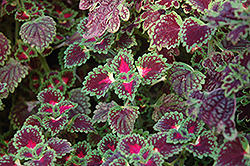 Lava Rose Coleus (Solenostemon scutellarioides 'Lava Rose') at Make It Green Garden Centre
