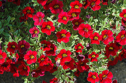 Lindura Red Calibrachoa (Calibrachoa 'Lindura Red') at Make It Green Garden Centre