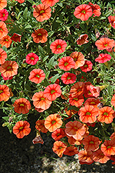 Superbells® Dreamsicle Calibrachoa (Calibrachoa 'Superbells Dreamsicle') at Make It Green Garden Centre