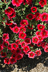 Superbells® Pomegranate Punch Calibrachoa (Calibrachoa 'Superbells Pomegranate Punch') at Make It Green Garden Centre
