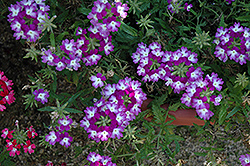 Lanai® Twister™ Purple Verbena (Verbena 'Lanai Twister Purple') at Make It Green Garden Centre