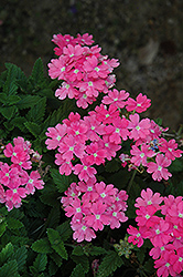 Lanai® Upright Pink Verbena (Verbena 'Lanai Upright Pink') at Make It Green Garden Centre
