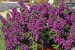 AngelMist® Spreading Dark Purple Angelonia (Angelonia angustifolia 'AngelMist Spreading Dark Purple') at Make It Green Garden Centre