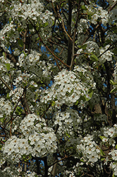 Chanticleer Ornamental Pear (Pyrus calleryana 'Chanticleer') at Make It Green Garden Centre