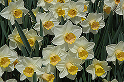 Salome Daffodil (Narcissus 'Salome') at Make It Green Garden Centre
