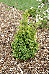 Green Mountain Boxwood (Buxus 'Green Mountain') at Make It Green Garden Centre