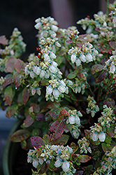 Jelly Bean® Blueberry (Vaccinium 'ZF06-179') at Make It Green Garden Centre