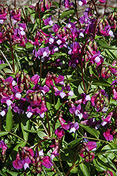Spring Vetchling (Lathyrus vernus) at Make It Green Garden Centre