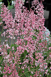 Oakleaf Foamflower (Tiarella 'Oakleaf') at Make It Green Garden Centre