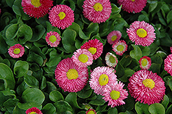 Speedstar Pink English Daisy (Bellis perennis 'Speedstar Pink') at Make It Green Garden Centre