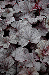 Cinnabar Silver Coral Bells (Heuchera 'Cinnabar Silver') at Make It Green Garden Centre