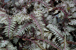 Regal Red Painted Fern (Athyrium nipponicum 'Regal Red') at Make It Green Garden Centre
