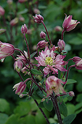 Clementine Rose Columbine (Aquilegia vulgaris 'Clementine Rose') at Make It Green Garden Centre