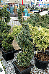 Green Mountain Boxwood (spiral form) (Buxus 'Green Mountain (spiral)') at Make It Green Garden Centre