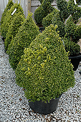 Green Mountain Boxwood (pyramid form) (Buxus 'Green Mountain (pyramid)') at Make It Green Garden Centre