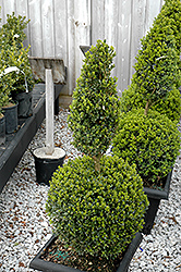 Green Mountain Boxwood (poodle form) (Buxus 'Green Mountain (poodle)') at Make It Green Garden Centre