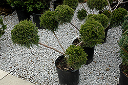San Jose Juniper (pom pom) (Juniperus chinensis 'San Jose (pom pom)') at Make It Green Garden Centre