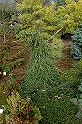 Farnsburg Norway Spruce (Picea abies 'Farnsburg') at Make It Green Garden Centre
