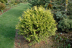 Golden Globe Arborvitae (Thuja occidentalis 'Golden Globe') at Make It Green Garden Centre