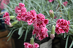 Dragon Fruit Pinks (Dianthus 'Dragon Fruit') at Make It Green Garden Centre