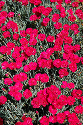 Frosty Fire Pinks (Dianthus 'Frosty Fire') at Make It Green Garden Centre