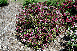 Polka Weigela (Weigela florida 'Polka') at Make It Green Garden Centre