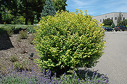 Firegold® Spirea (Spiraea x vanhouttei 'Levgold') at Make It Green Garden Centre