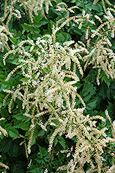 Misty Lace Goatsbeard (Aruncus 'Misty Lace') at Make It Green Garden Centre