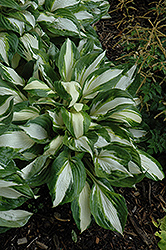 Vulcan Hosta (Hosta 'Vulcan') at Make It Green Garden Centre