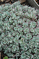 Japanese Stonecrop (Sedum cauticola) at Make It Green Garden Centre