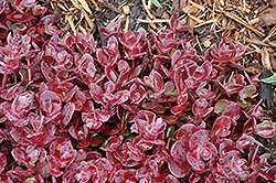 Cherry Tart Stonecrop (Sedum 'Cherry Tart') at Make It Green Garden Centre