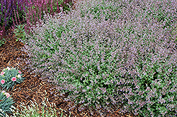 Purrsian Blue Catmint (Nepeta x faassenii 'Purrsian Blue') at Make It Green Garden Centre