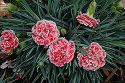 Coral Reef Pinks (Dianthus 'WP07OLDRICE') at Make It Green Garden Centre
