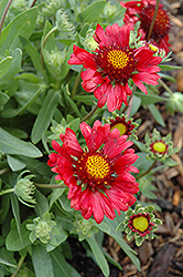 Burgundy Blanket Flower (Gaillardia x grandiflora 'Burgundy') at Make It Green Garden Centre